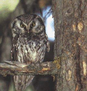 http://owls.narod.ru/pic-sb/029.jpg