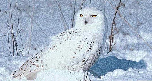 http://owls.narod.ru/pic-sb/056.jpg