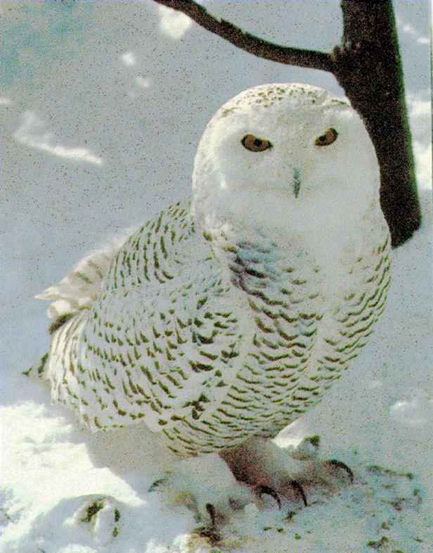 http://owls.narod.ru/pic-sb/064.jpg